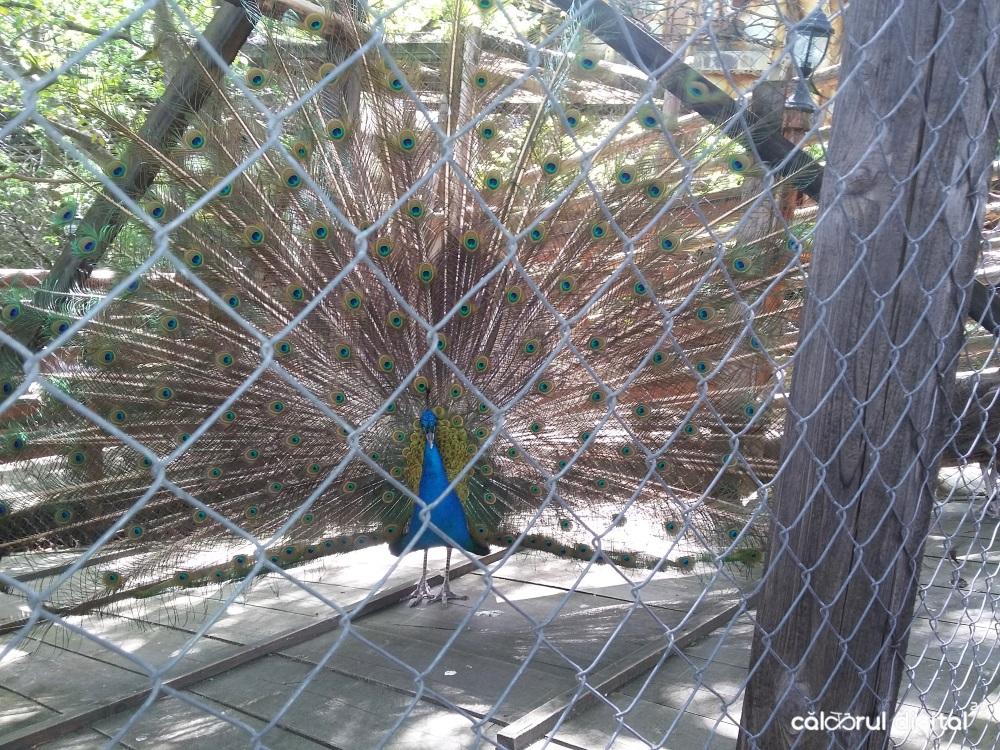 club-vila-bran-mini-zoo-paun (12)