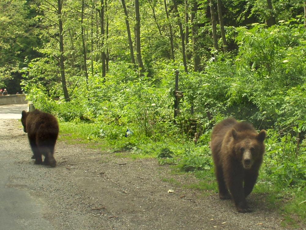Ursi, Paraul Rece