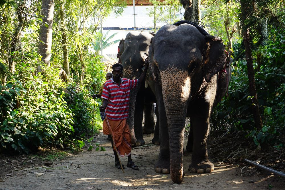 kerala, elefant pe plantatie