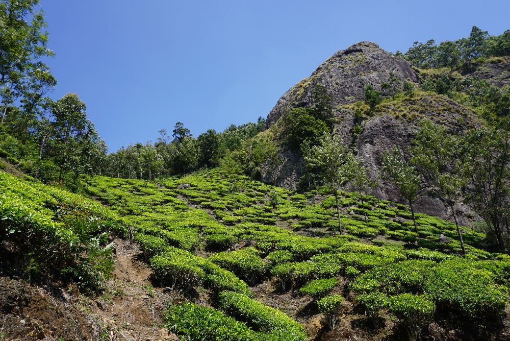 kerala, plantatii ceai, munnar, ecoturism