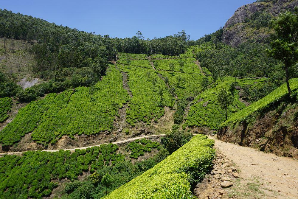 kerala, ecoturism, plantatii ceai